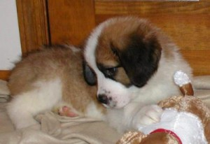 X-mas   affectionate saint bernard puppies for adoption