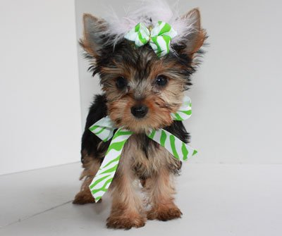 Good looking yorkies available for good homes.