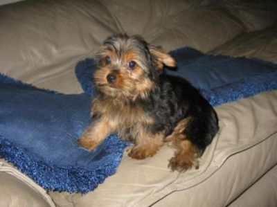 Current on all vaccinations Yorkie pups litter box trained.