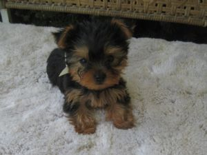 AKC  Teacup Yorkie Puppies for good home