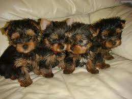 yorkie puppies for xmas adoption