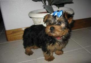Out Standing Cute male and female and Akc Register Yorkie Puppies