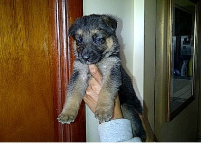 AKC German Shepherd puppies for your home now