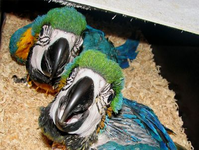 Healthy Blue and Gold Macaw Green Wing Macaw ON SALE NOW
