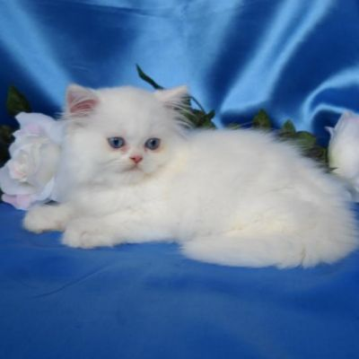 Persain cute kitte now for adoption