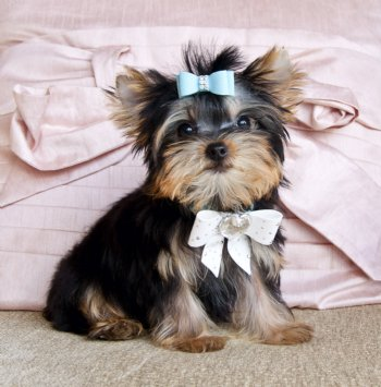 well home trained yorkie puppi
