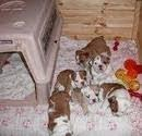 6 AKC Reg English Bulldog Puppies for free adoption ( Call 206-203-4234 )