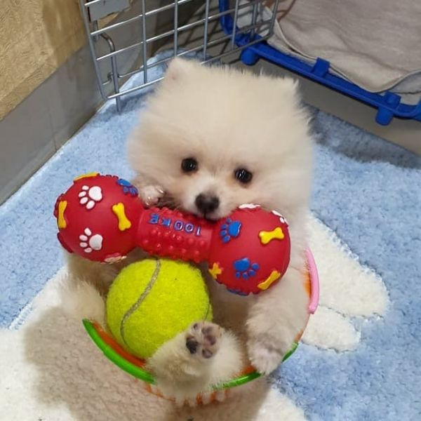 Teacup Pomeranian Puppies Available (678) 870-6738