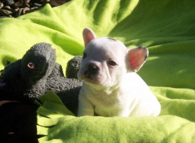 !♥ ♥ Outstanding and cute ♥ ♥ French Bulldog Puppies Available ♥ &#982