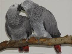 Beautiful and Talking Hyacinth Macaw and african grey parrot Parrots for Sale