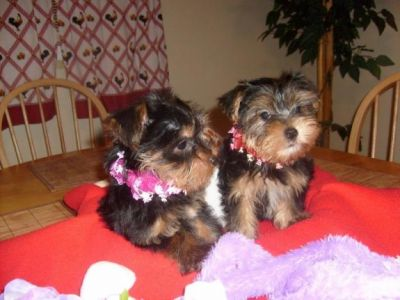 Lovely male and female yorkie puppies for xmas adoption