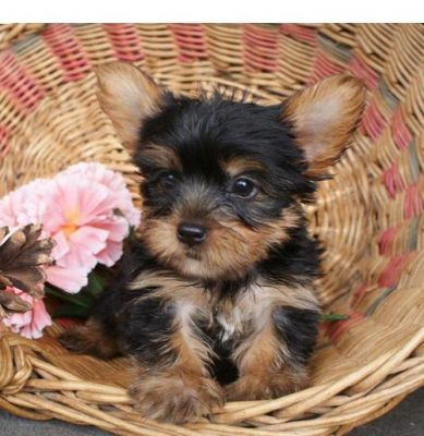 Free X-Mass Available Teacup Yorkie Puppies !!!