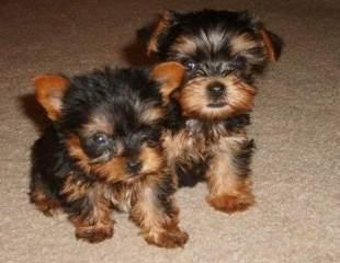 Adorable Yorkie Puppies For Adoption  Text  Me At ........201-468-9268