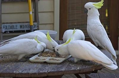clean cockatoos parrot birds for adoption