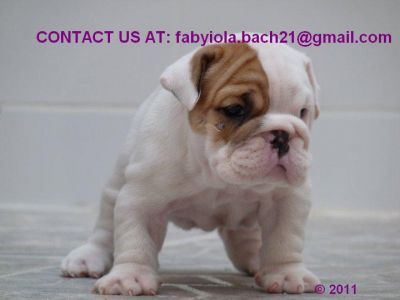 TWO HEALTHY ENGLISH BULLDOG PUPPIES FOR ADOPTION