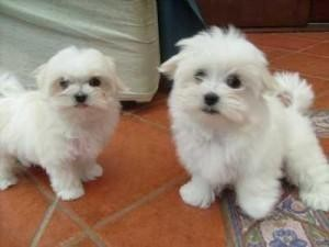 Cute and adorable male and female maltese puppies for adoption now!!!