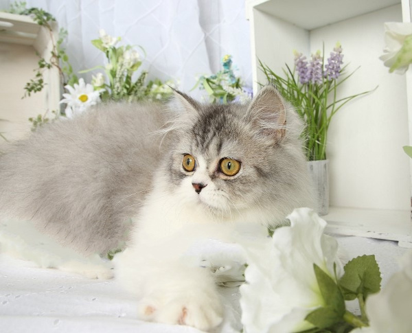 Beautiful persian kittens CALL OR TEXT 7025272316