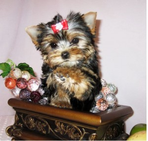 Delighted Yorkie Puppies (701) 660-4175