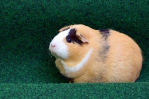 Guinea Pigs- Amazingly Cute Pets to Adopt.