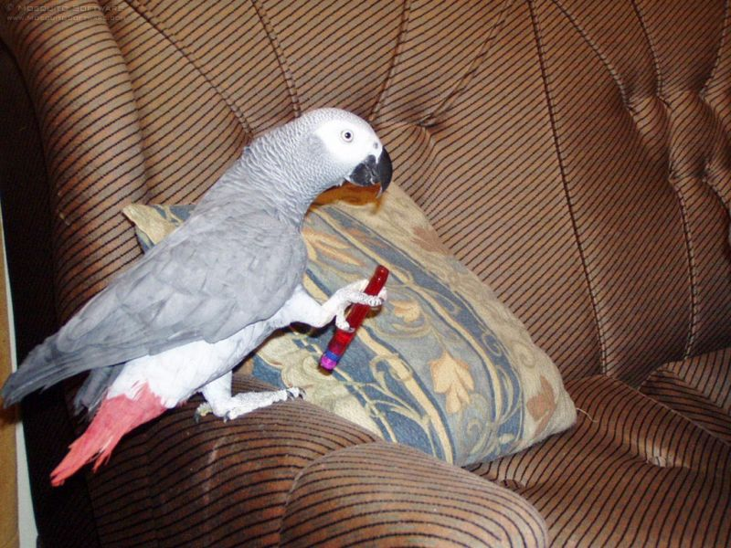 Free African grey parrot.