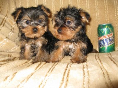 CUTE AND CHAMING YORKIE PUPPIES READY FOR ADOPTION.