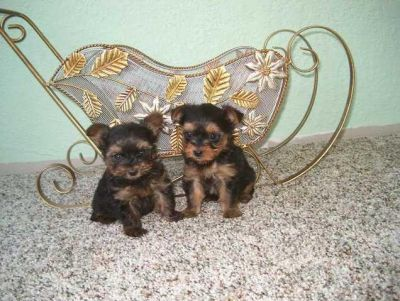 Teacup Yorkie Puppies for Adoption Classified Ad