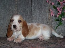 adorable basset hound