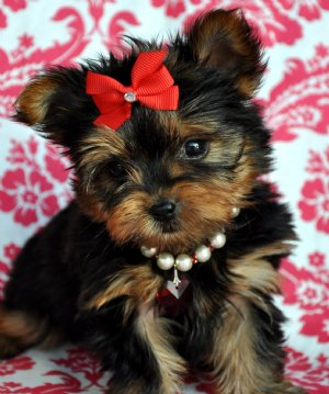 Micro Pocket Teacup Yorkie For Adoption Text 208-266-7525