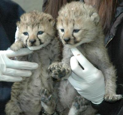 Healthy and Gorgeous Tiger Cubs and Cheetah cubs available