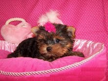 2 Yorkie  Puppies for  free adoption..