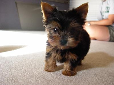 *Yorkshire Terrier Puppies