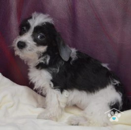 Teacup Maltipoo Puppies For Sale - OBP