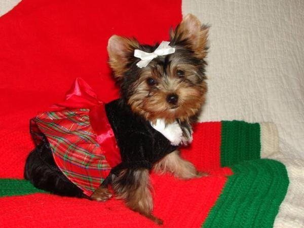 Beautiful Yorkie Puppiesfor free adoption