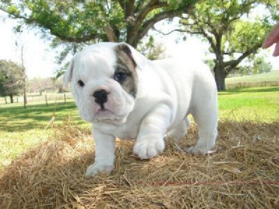 Lovely English Bulldog Puppies for adoption