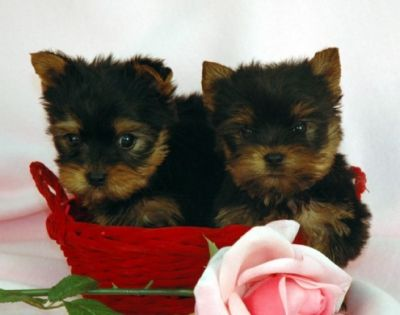 cute  yorkie puppies for free adoption..............