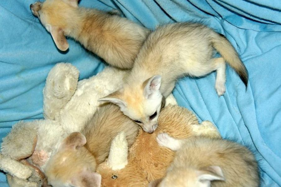 Tica registered fennec fox,savannah kitten F1.F2 and baby ocelot kittens for sale