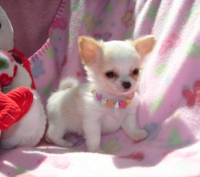 cute and lovely Chihuahua for good homes