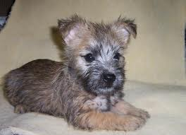 Cairn Terrier puppies2 Lovely available for good home