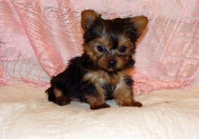 Teacup Yorkie Puppies Available For X-Mass
