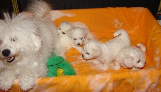 Bichon and Yorkie Lovers... Where dreams really do come true...
