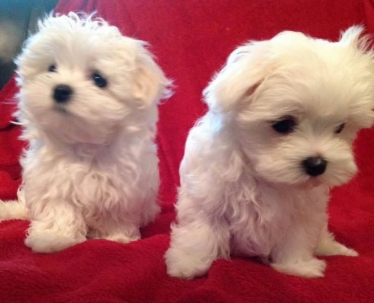 Purebred Teacup Maltese Puppies For