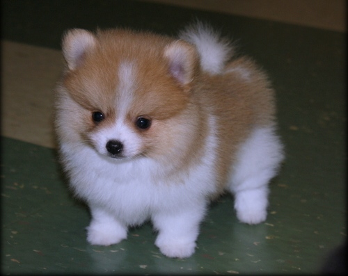 Health Registered Pomeranian.