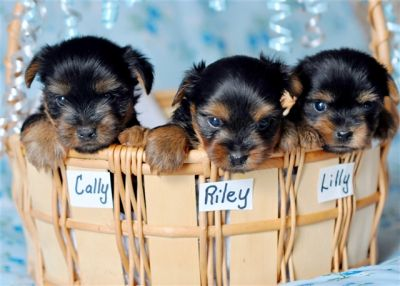 3 CHARMING TEACUP YORKIE PUPPIES FOR FREE ADOPTION