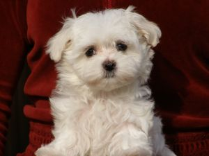 Champion AKC Tiny Maltese Puppies available