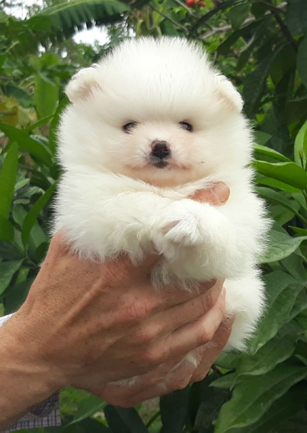 Very fluffy tiny white pomeranian   puppy   male