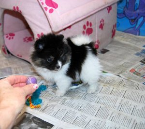 Teacup Pomeranian Puppies For Adoption(looking For A New Home)