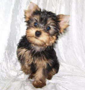 Super Tiny Teacup Yorkie puppies to good home