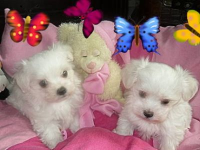 adorable male and femae maltase puppies for adoption