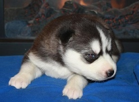 Home Trained Male And female Siberian Husky Puppies For Adoption  Now(719) 745-8034