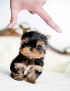 Adorable AKC registered Yorkies Puppies available